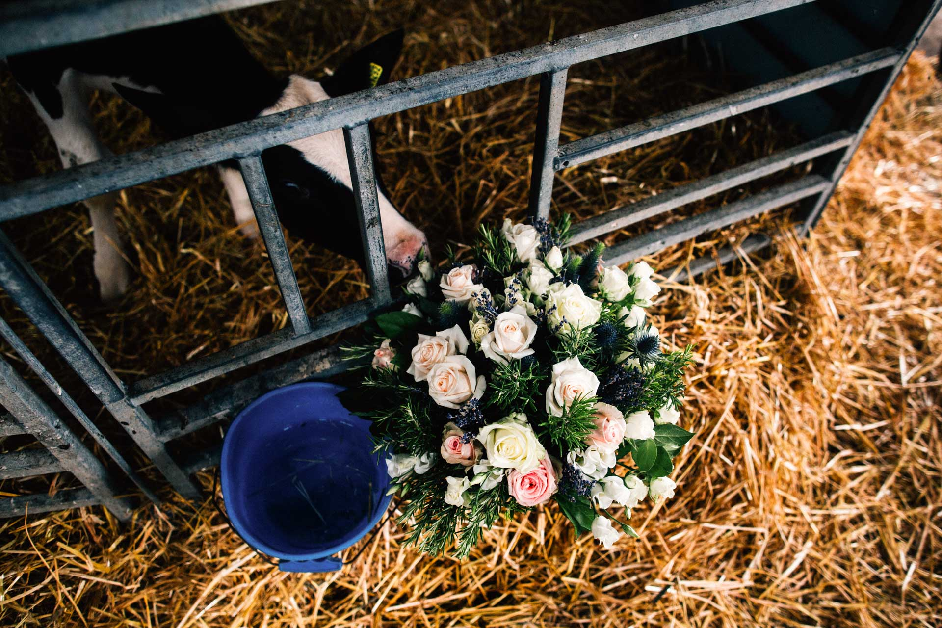 Best wedding photography 2016 - cow eating bouquet
